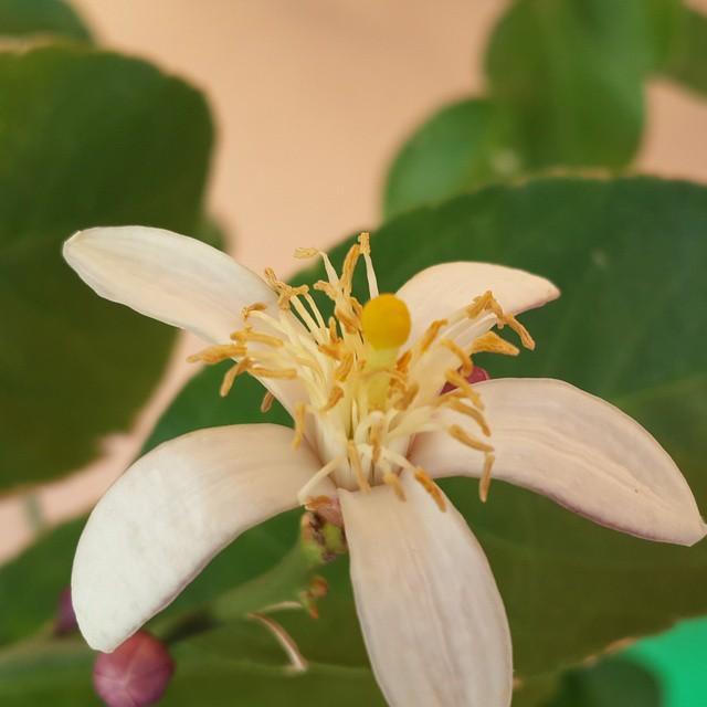Flor de limon!!!