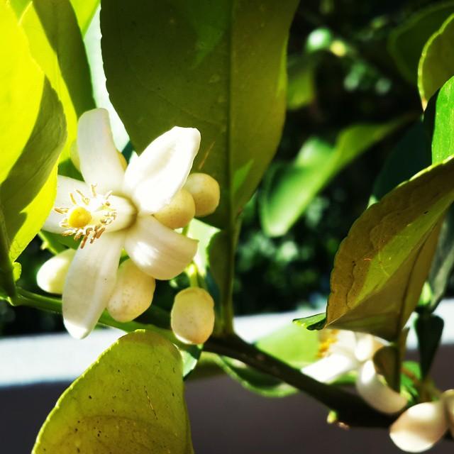 Naranjo en flor.
