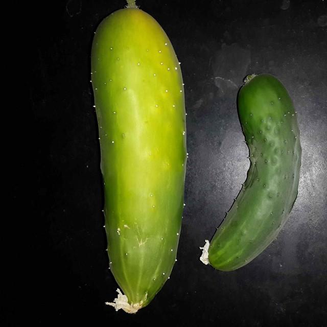 Primer cosecha de pepinos.