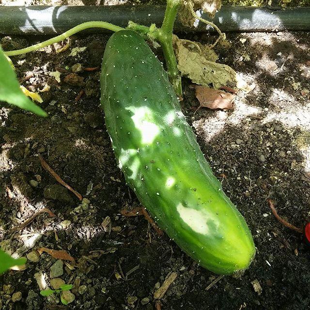 Primer pepino de la cosecha